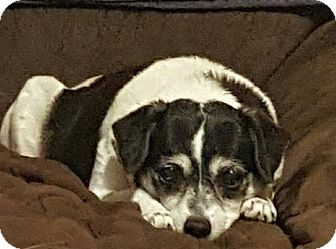 Rat Terrier/Jack Russell Terrier Mix Dog for adoption in Ocala, Florida - Lucy