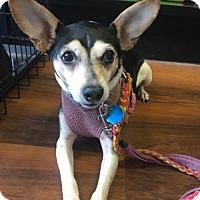Adopt A Pet :: SWEET PEA (dog) - East Stroudsburg, PA