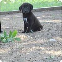 Adopt A Pet :: Tizzy - New Boston, NH