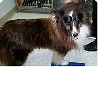Adopt A Pet :: Shiloh - COLUMBUS, OH