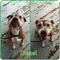 Adopt A Pet :: Diesel - bridgeport, CT