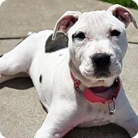 Adopt A Pet :: Avery - Framingham, MA