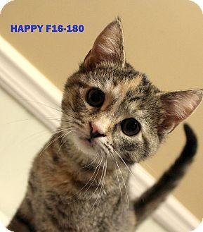 American Shorthair Kitten for adoption in Tiffin, Ohio - Happy