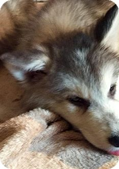 Siberian Husky Puppy for adoption in Memphis, Tennessee - Byramba~UPDATE!