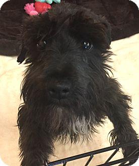 Schnauzer (Miniature) Mix Puppy for adoption in Boca Raton, Florida - Flash