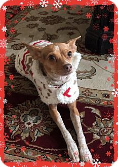 Chihuahua Mix Dog for adoption in Yuba City, California - Iggy