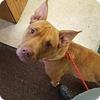 Pit Bull Terrier Mix Dog for adoption in New Albany, Ohio - Dauby