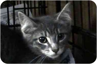 Domestic Shorthair Kitten for adoption in Syracuse, New York - Aragon