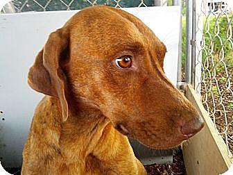 Vizsla/Redbone Coonhound Mix Dog for adoption in Orange Lake, Florida - Tara
