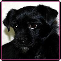 Adopt A Pet :: PENELOPE - ADOPTION PENDING - Little Rock, AR