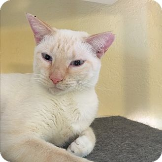 Siamese Cat for adoption in Lauderhill, Florida - Aven