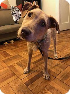 Terrier (Unknown Type, Medium)/Labrador Retriever Mix Dog for adoption in Brooklyn, New York - Kai