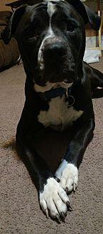 American Bulldog Mix Dog for adoption in Goldsboro, North Carolina - Swag