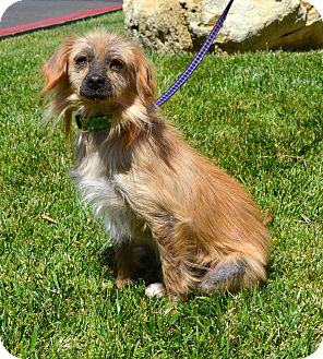 Terrier (Unknown Type, Small) Mix Dog for adoption in Simi Valley, California - Pixie