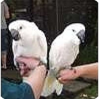Adopt A Pet :: SHADOW - Mantua, OH