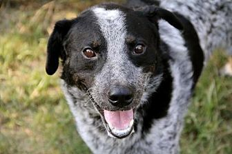 Cattle Dog Dog for adoption in Rossville, Tennessee - Cozmo