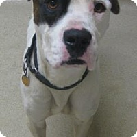 Adopt A Pet :: Spot - Gary, IN