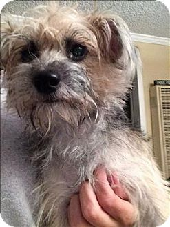 Terrier (Unknown Type, Small)/Silky Terrier Mix Dog for adoption in Encino, California - Mama