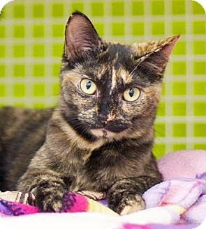 Domestic Shorthair Kitten for adoption in Troy, Michigan - Josie