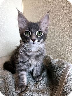 Domestic Longhair Kitten for adoption in Las Vegas, Nevada - Timmie