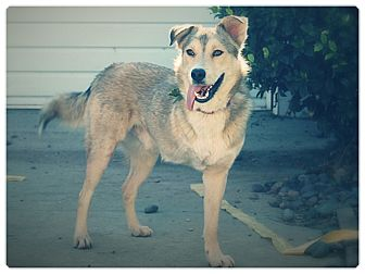 Husky/Siberian Husky Mix Dog for adoption in Glendale, California - KAMA