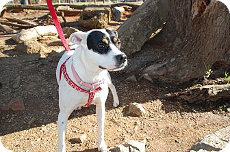Terrier (Unknown Type, Medium)/Pointer Mix Dog for adoption in Allentown, Pennsylvania - Annie