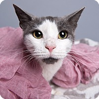 Adopt A Pet :: Setsuna - Wilmington, DE
