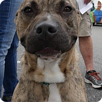 Pit Bull Terrier Mix Dog for adoption in Sarasota, Florida - Chewy