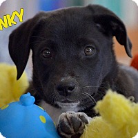 Adopt A Pet :: Punky - WESTMINSTER, MD