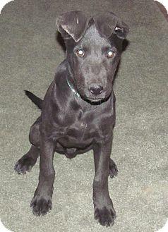 Labrador Retriever Mix Puppy for adoption in Lebanon, Maine - Chance-LOCAL
