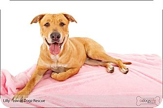 Labrador Retriever/Golden Retriever Mix Dog for adoption in Scottsdale, Arizona - Lily SWEET Lily