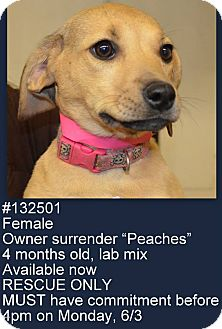 Labrador Retriever Mix Puppy for adoption in North Brunswick, New Jersey - Peaches
