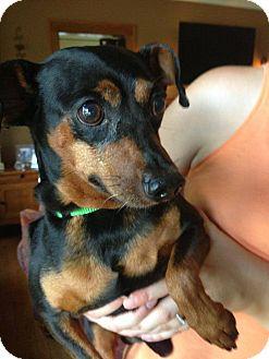 Miniature Pinscher Dog for adoption in Chicago, Illinois - KRAMER