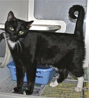 Domestic Shorthair Cat for adoption in Salisbury, North Carolina - Kiki