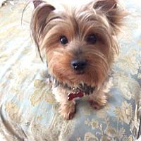 Adopt A Pet :: Bellatrix - Los Angeles, CA