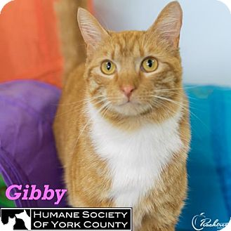 Domestic Mediumhair Cat for adoption in Fort Mill, South Carolina - Gibby