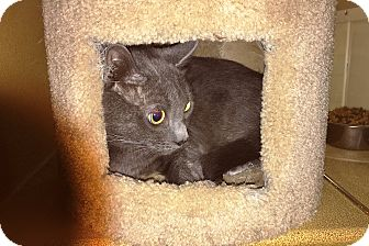Russian Blue Cat for adoption in Riverside, California - Alley
