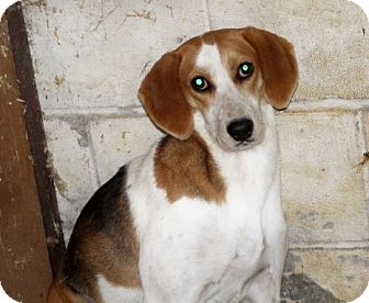 Treeing Walker Coonhound/Beagle Mix Dog for adoption in Liberty Center, Ohio - Lynette