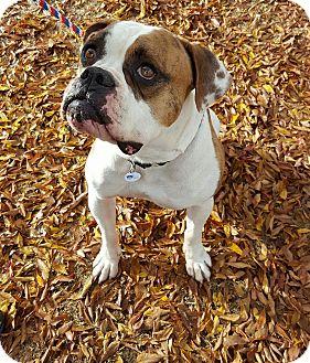 American Bulldog/Bulldog Mix Dog for adoption in Tucson, Arizona - Daffy