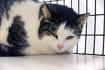 Domestic Shorthair Cat for adoption in Victor, New York - Tessa