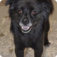 Adopt A Pet :: Bullet - Greensburg, PA