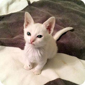 Domestic Shorthair Kitten for adoption in Fort Lauderdale, Florida - Peabody