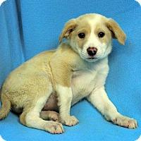 Adopt A Pet :: Harper - Westminster, CO
