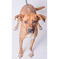 Adopt A Pet :: Bounce - Jupiter, FL