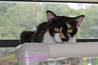 Domestic Shorthair Cat for adoption in PT ORANGE, Florida - Sweet Pea