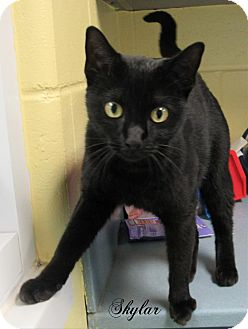 Domestic Shorthair Cat for adoption in Jackson, New Jersey - Skylar
