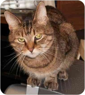 Domestic Shorthair Cat for adoption in Milford, Ohio - B B