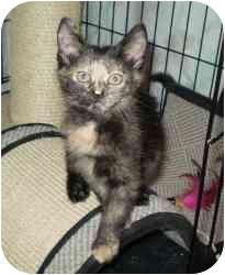 Domestic Shorthair Kitten for adoption in Boston, Massachusetts - Honey