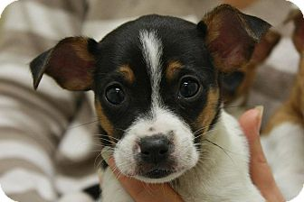 Jack Russell Terrier Mix Puppy for adoption in Jackson, Michigan - Little Girl