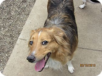 Australian Shepherd/Border Collie Mix Dog for adoption in Richfield, Ohio - Shadow